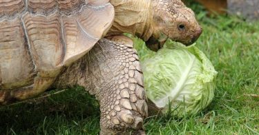 Can Turtles Eat Cabbage