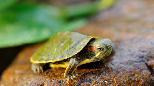 Can Turtles Eat Crickets