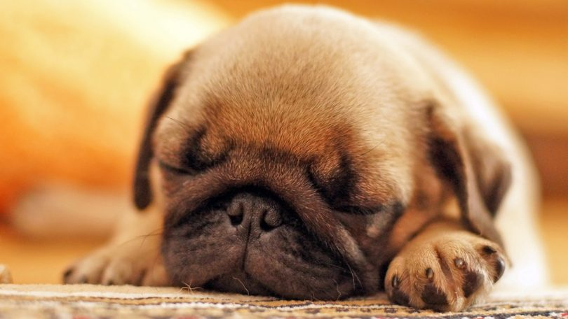 Top 10 Names For Pugs Furry Tips