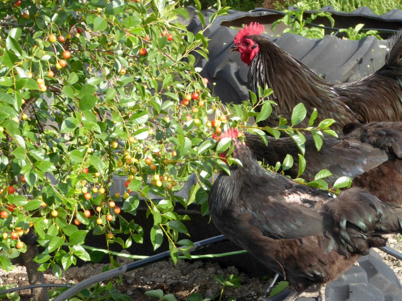 Can Chickens Eat Cherries