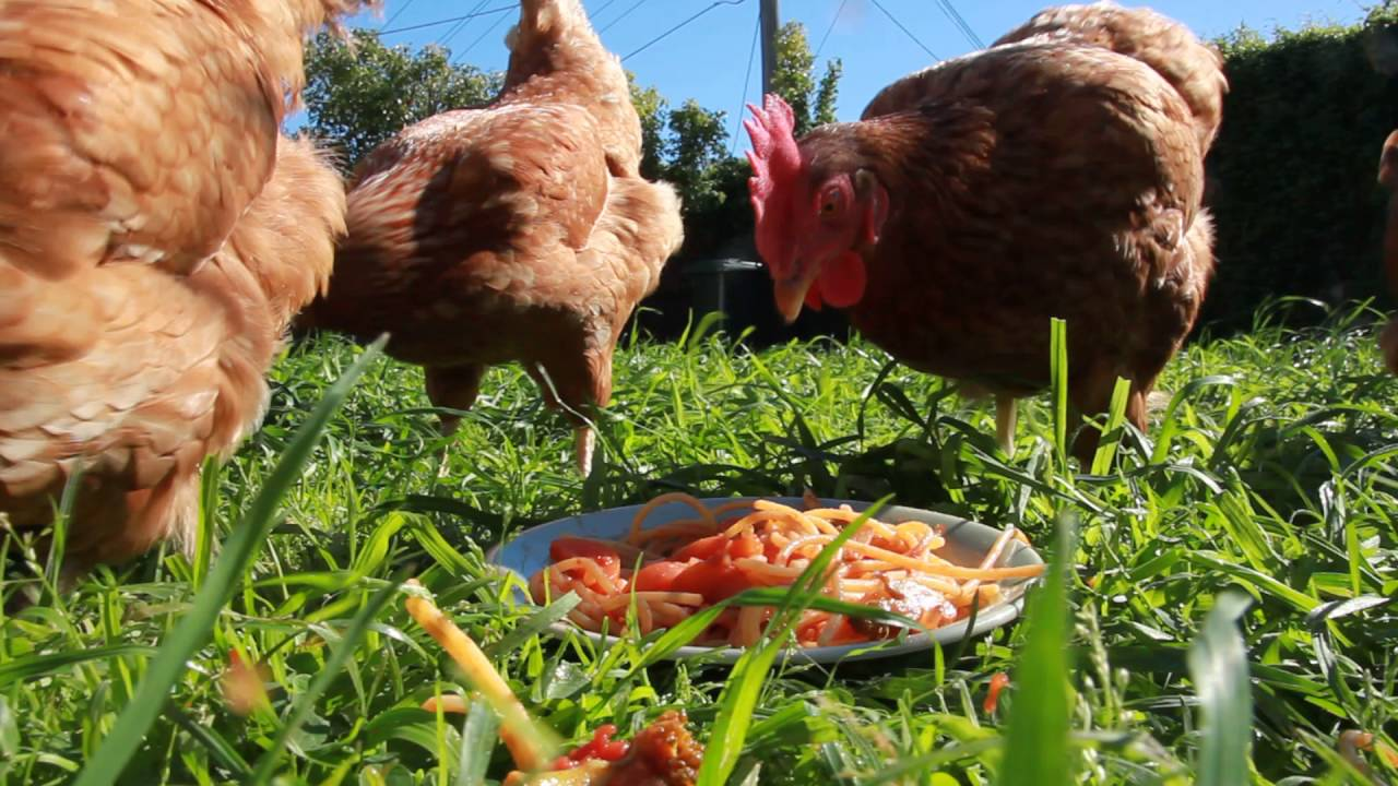 Can Chickens Eat Pasta