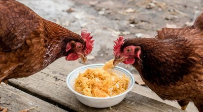 Can Chickens Eat Squash