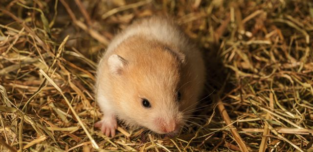 Can Hamsters Eat Hay