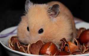 How long can a dwarf hamster live without food