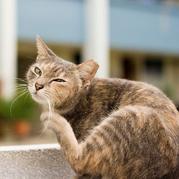 Cat Treatment for Tapeworms