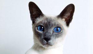 Siamese Cat Health Problems