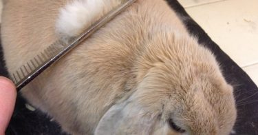Rabbit Grooming Tips