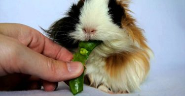 Can Guinea Pigs Eat Peas