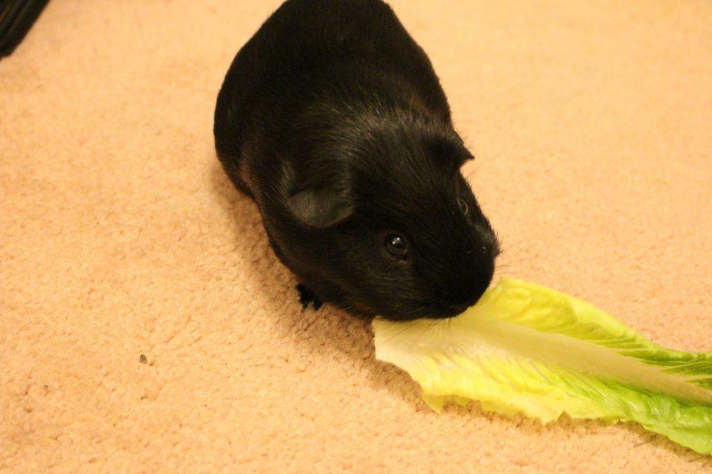 Can Guinea Pigs Eat Romaine Lettuce