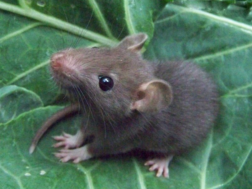 Can Rats Eat Cabbage