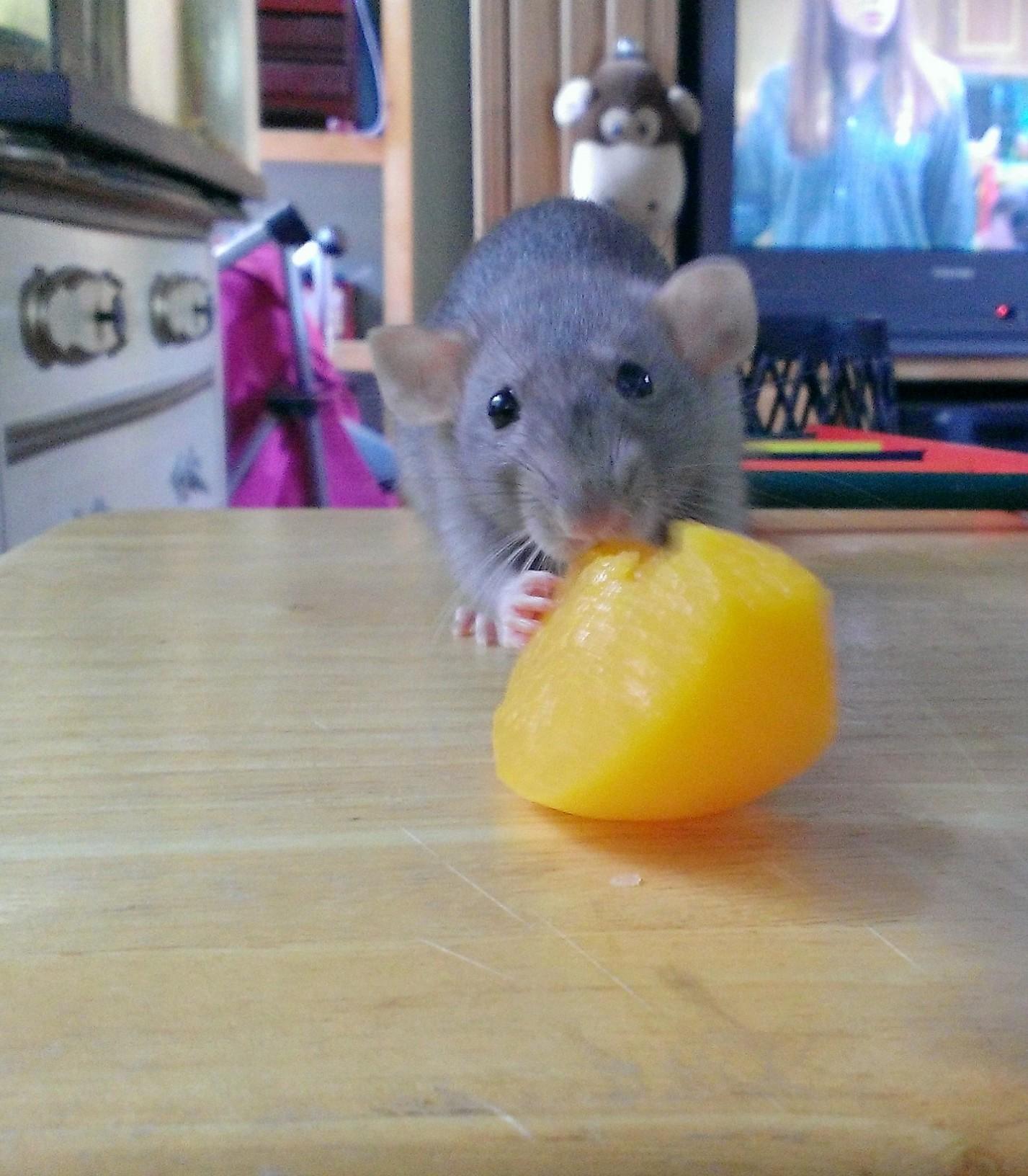 Can Rats Eat Ferret Food
