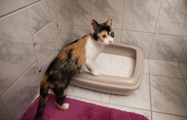 Cat Is Having Trouble Urinating, What Should You Do?