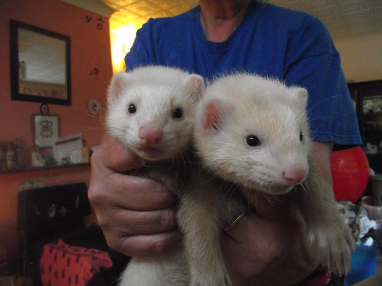 Petco ferrets are neutered and as social animals they enjoy each others company Their name comes from the Latin word furonem which means thief no doubt due to