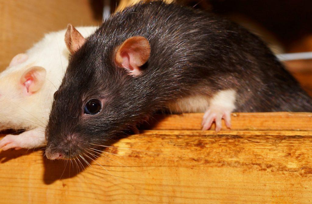 Can Rats Climb?