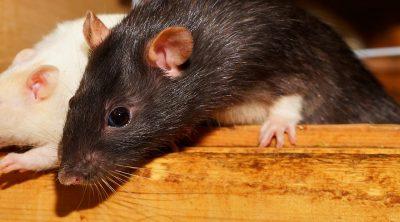 can rats climb