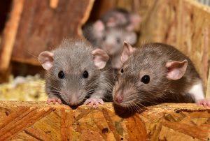 how do rats communicate