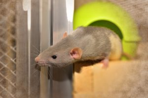 how do rats benefit their owners