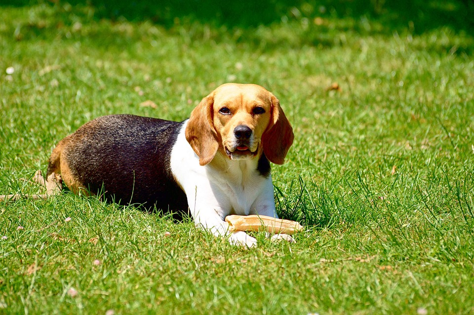 Beagles  – Ideal Toys, Ways of Play and Breed Temperament