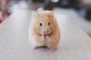 how do hamsters communicate