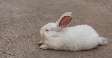 how do rabbits sleep