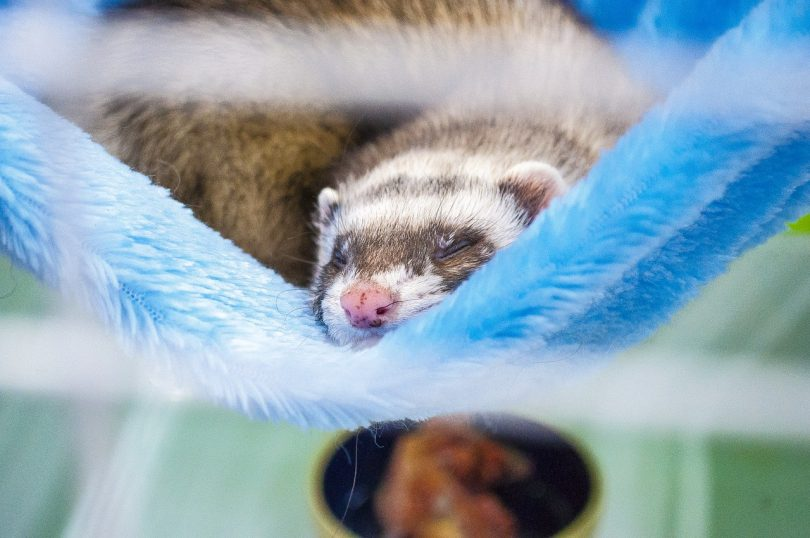 how long do ferrets sleep