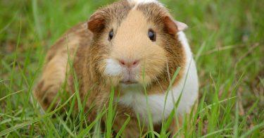 guinea pig body language