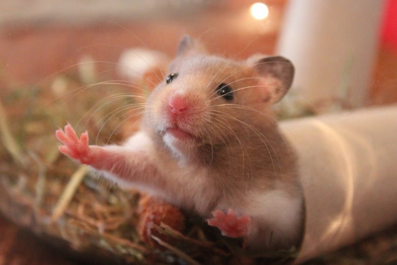 get your hamster to trust you