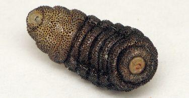 cuterebra parasite