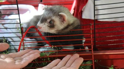 how to feed your ferret right