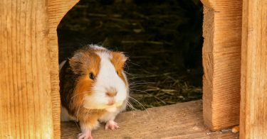 how to choose the right guinea pig cage