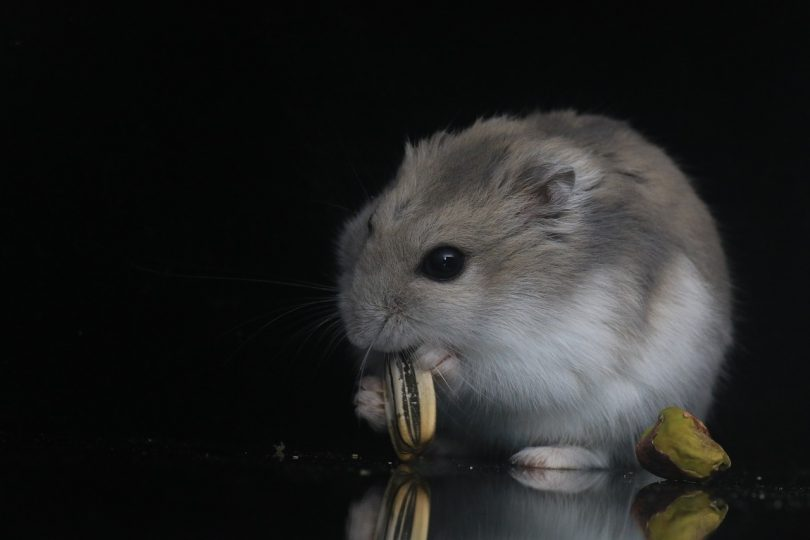 what type of seeds can hamsters eat