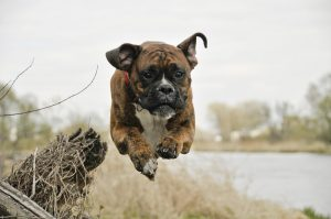 Best Dog Food For Boxers