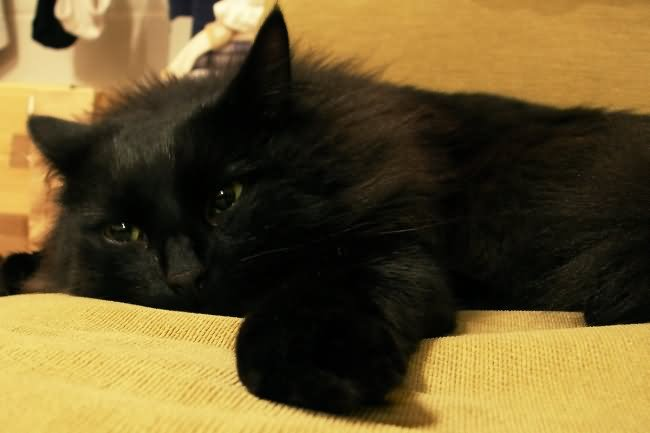 black cat breed