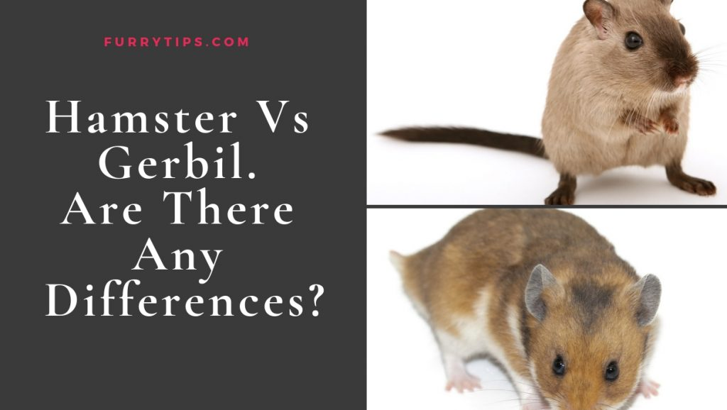 Hamster Vs Gerbil – Are There Any Differences?