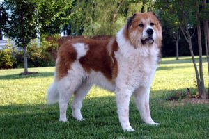Russian Bear Dog