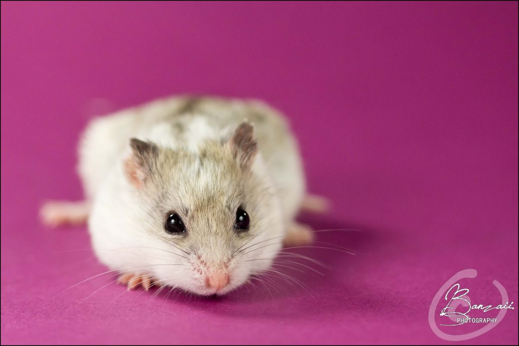 Do Hamsters Hibernate? Here Is How To Find Out