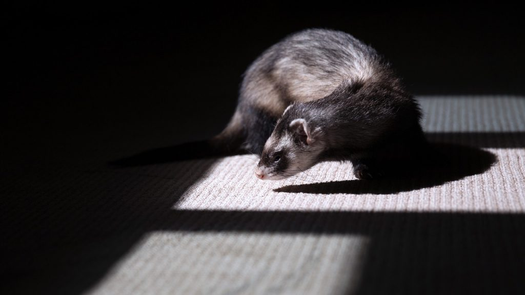 How Long Do Ferrets Live? And How to Make Your Pet Ferret Live Longer