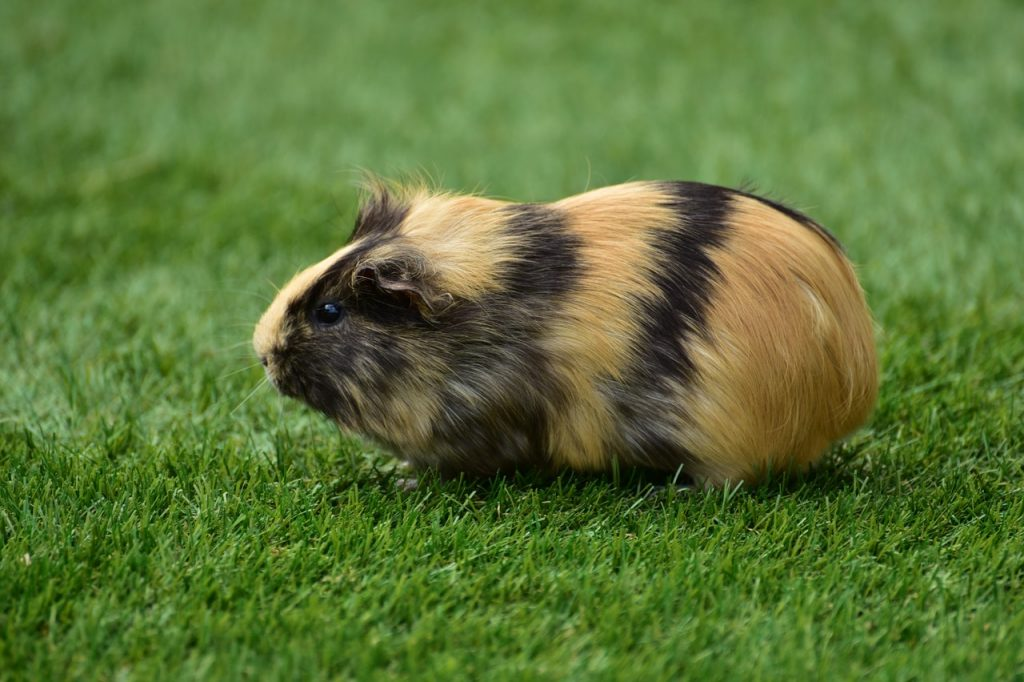 The Ultimate Guide to Guinea Pig Popcorning