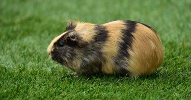 guinea pig pop corning