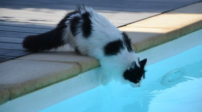 Can Cats Swim?