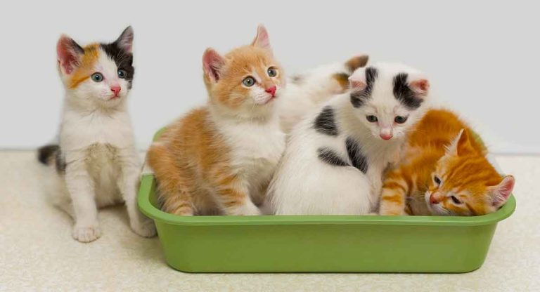 Best Cat Litter For Multiple Cats