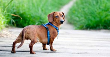 Best Harness For Dachshund