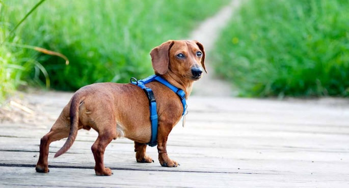 A Simple Guide to Choose the Best Harness for Dachshund