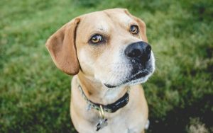 Labrador Pitbull Mix