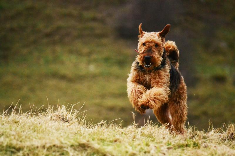 hunting dog breed
