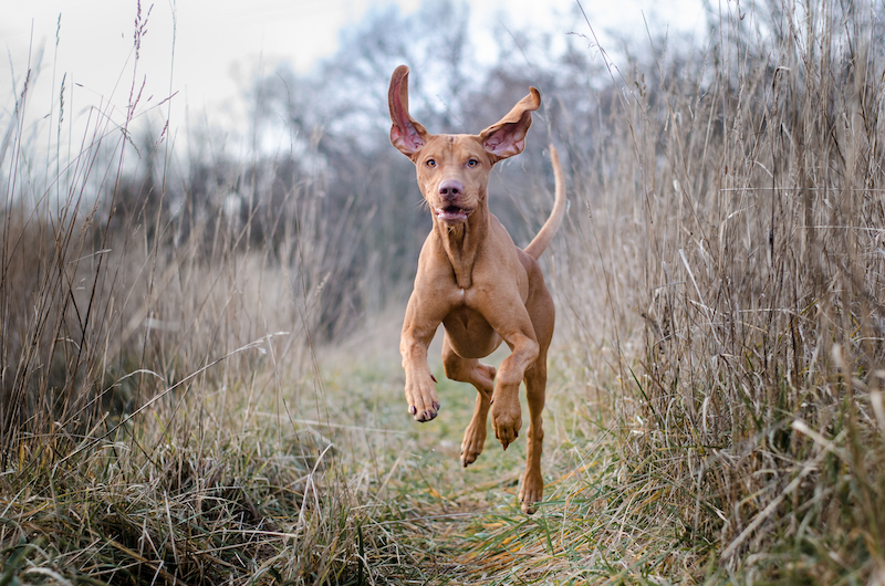 hunting dogs breed